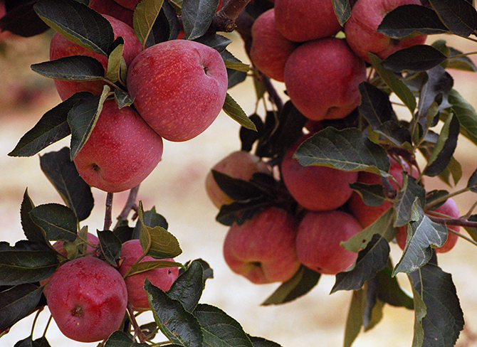 A close-up image of Redwood Hill Farm apple tree ready to pick