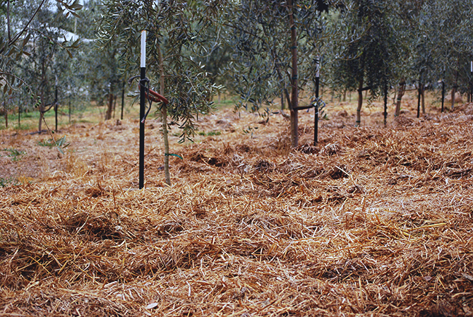 barn compost spread under the olive orchard drip lines at Redwood Hill Farm