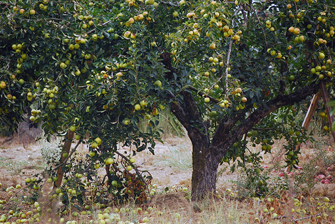 Redwood Hill Farm Gravenstein Apple tree