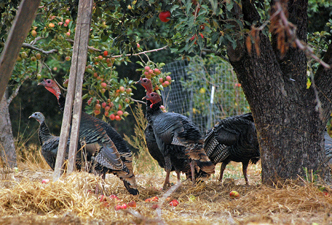 Turkeys enjoy scratching in compost at Redwood Hill Farm