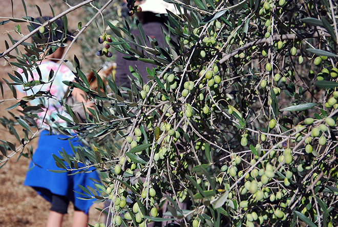 Looking through an olive tree at Nicole Bice helping her dad, Farm Manager Scott Bice with the olive harvest.