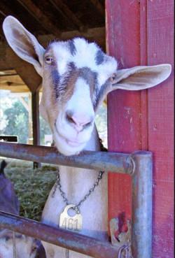 Smiling goat behind metal gate next to red barn