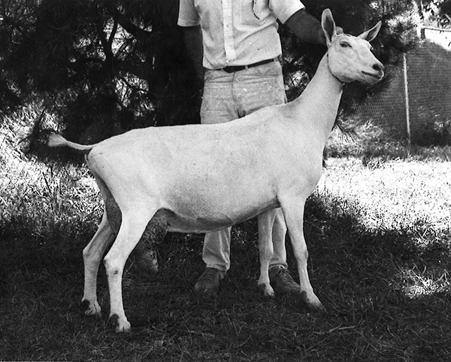A Brief History of the Saanen Dairy Goat from Switzerland