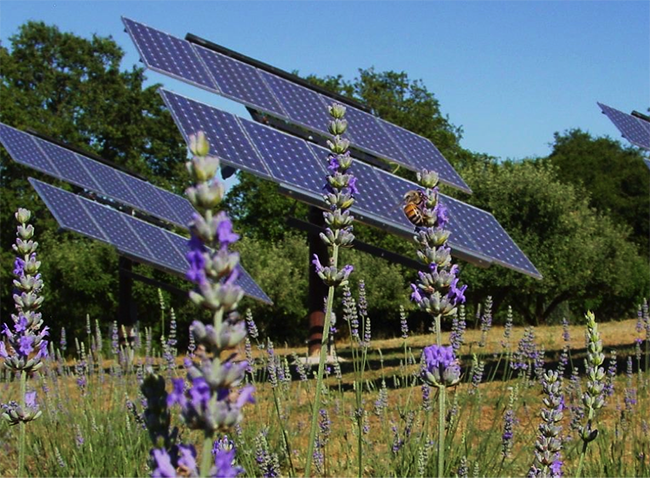 A honey bee pollinating lavender in the farm's solar field