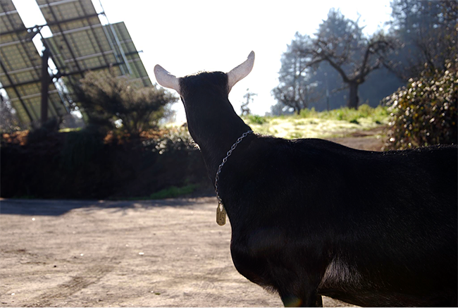 A goats-eye-view of the Redwood Hill Farm tracking solar array