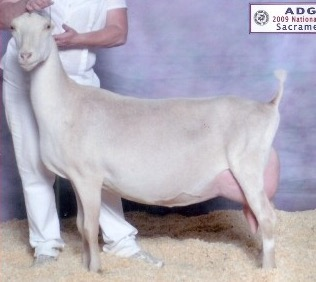 Dairy Goat showcasing General Appearance